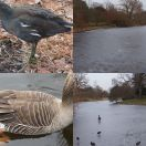 2012-02-14<br/> <b>Winter Wildfowl at the Lake, Kew Gardens</b>